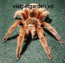 nhen-canh-red-G.rose-tarantula